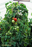 HS09-214x  Tomato - early cascade variety in greenhouse