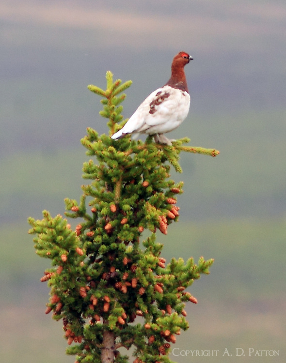 Male willow ptarmigan in June
