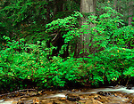 Kaniksu National Forest, WA<br /> Vine maple at cedar forest edge above North Fork Granite Creek, near Stagger Inn