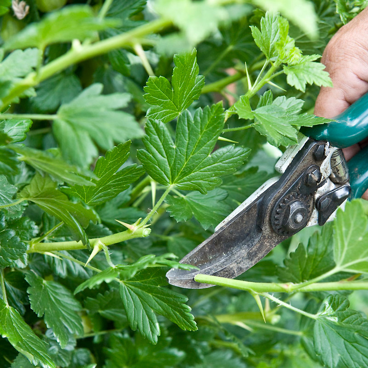 In early or midsummer, prune back all sideshoots on gooseberries so that there are only five leaves left.