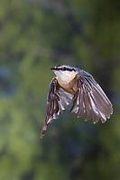 Kleiber, Spechtmeise, im Flug, Flugbild, fliegend, Sitta europaea, Nuthatch, Eurasian nuthatch, wood nuthatch, flight, flying, Sittelle torchepot