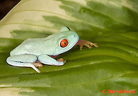 0306-0907  Red-eyed Tree Froglet (Young Frog), Agalychnis callidryas  © David Kuhn/Dwight Kuhn Photography.