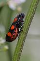 Black and Red Froghopper (Cercopis vulnerata) on plant stem. Nordtirol, Austrian Alps. June.