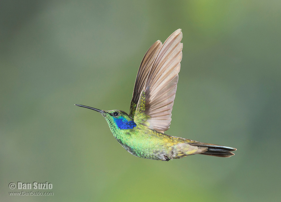 Green violet-ear, Colibri thalassinus. Tandayapa Valley, Ecuador