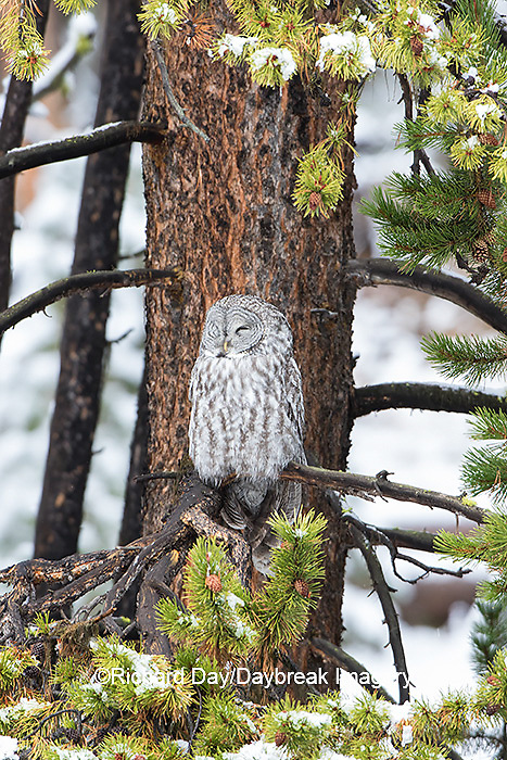 01128-00102 Great Gray Owl (Strix nebulosa) Yellowstone National Park, WY