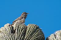 Cactus Wren, Campylorhynchus brunneicapillus, perches on a cristate (crested) Saguaro cactus, Carnegiea gigantea, in the Desert Botanical Garden, Phoenix, Arizona