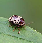 A Casebearer Leaf Beetle.