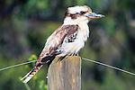 IMAGES OF AUSTRALIA Tasmanian Kookaburra