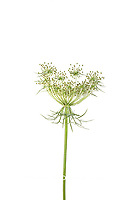 30099-00612 Queen Anne's Lace (Daucus carota) (high key white background) Marion Co. IL