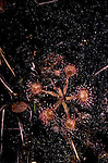 Round-leaved sundew plant Drosera rotundiflora insectivorious plant<br />
