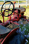 This little old red tractor sits as an ornament in a front yard with a patch of lavender.