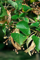 Small-leaved Lime Tilia cordata Tiliaceae Height to 32m<br /> Deciduous tree; dense crown, untidy with age. Bark Smooth, grey; darkens and flakes with age. Branches Ascending; twigs reddish above, olive below. Leaves To 9cm long, rounded with heart-shaped base; vein axils hairy below. Reproductive parts Flowers 5-petalled, pale with green bract; project in all directions. Fruit round, hard, 6mm across. Status Local.