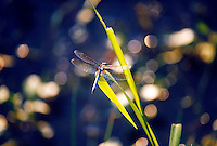 INSECTS<br /> Dragonfly<br /> Dragonflies are characterized by large multifaceted eyes, two pairs of strong transparent wings, and an elongated body.