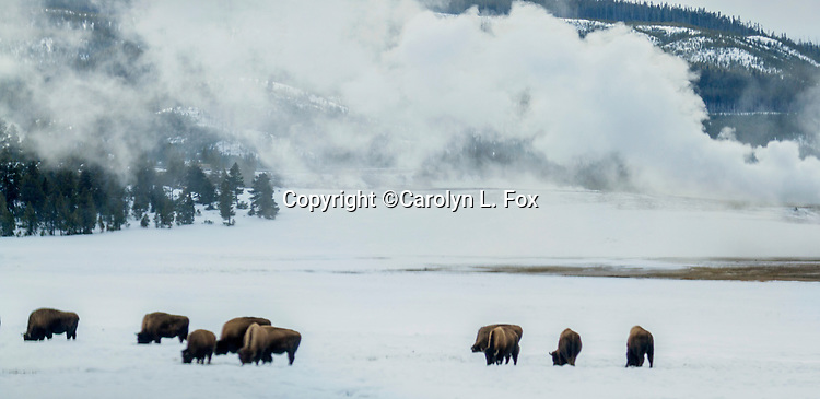 Bison gather in the snow in the winter in Yellowstone.