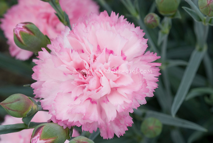 Dianthus candy floss scent first series fragrant perennial plant dianthus candy floss scent first series fragrant perennial closeup of pink scented flowers mightylinksfo Image collections