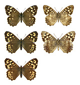 Speckled Wood - Pararge aegeria - male (top row) - female (middle row) - ssp. insula from Scilly (bottom row). Wingspan 45mm. A familiar woodland and hedgerow butterfly that favours sunny glades; fond of basking. Adult has dark brown upperwings with pale markings; underwings are rufous brown with similar pattern to that seen on upperwings. Double-brooded: adults fly April–June and July–September. Larva feeds on grasses and is strictly nocturnal. Widespread but common only in southern England; local or absent further north and in Ireland.