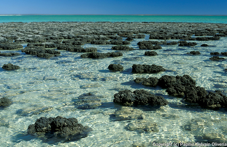 Monkey Mia Reserve, Western Australia, World Heritage Site, beach with Stromatolites or stromatoliths, formed in shallow water by the trapping, binding and cementation of sedimentary grains by biofilms of microorganisms, especially cyanobacteria (commonly known as blue-green algae).  Stromatolites provide some of the most ancient records of life on Earth by fossil remains which date from more than 3.5 billion years ago