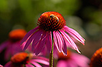 Purple Coneflower with Bee, Western Honey Bee, Southern California
