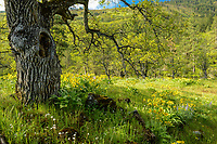 Oregon White Oak & wildflowers, Oregon