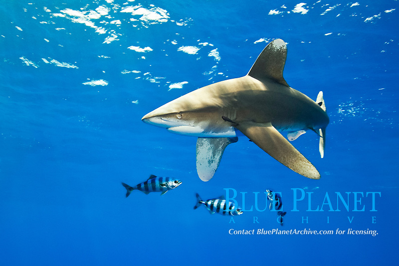 oceanic whitetip shark, Carcharhinus longimanus, with pilot fish, Naucrates ductor, Kona Coast, Big Island, Hawaii, Pacific Ocean
