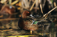 Cinnamon Teal, Anas cyanoptera, male preening, Port Aransas, Texas, USA
