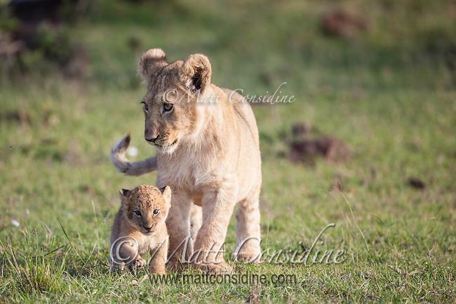 Cute scene of a lion cub looking after another little lion cub, Panthera leo, Masai Mara Reserve, Kenya, Africa (photo by Wildlife Photographer Matt Considine