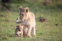 Cute scene of a lion cub looking after another little lion cub, Panthera leo, Masai Mara Reserve, Kenya, Africa (photo by Wildlife Photographer Matt Considine