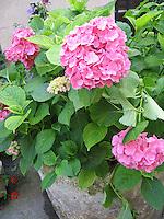 Hydrangeas, Provence