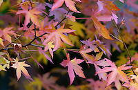 Maple leaves in autumn in England