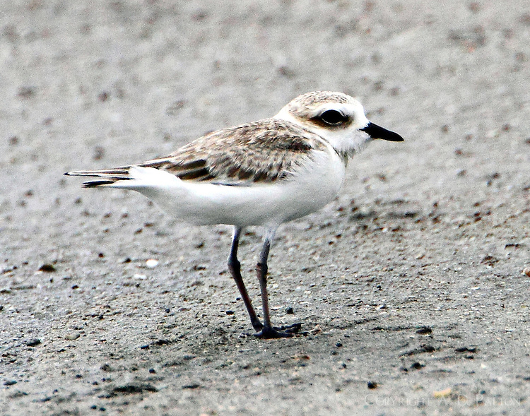 Snowy plover in Sept