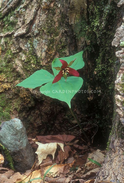 Trillium erectum showing entire plant with red spring flowers and three leaved plant, at base of tree trunk in shaded woodlands, ephemeral native American wildflower