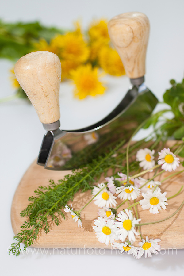 Essbare Wildkräuter, Kräuter werden mit Wiegemesser, Messer auf einem Brettchen zerkleinert, Ernte, Gänseblümchen (Bellis perennis), Löwenzahn (Taraxacum officinale), Schafgarbe (Achillea millefolium), Taubnessel (Lamium spec.), Gundermann (Glechoma hederacea), Edible wild herbs, herbs are crushed with mezzaluna, knife on a small board, harvest, English Daisy, Common Yarrow, Alehoof, Ground Ivy, Blowballs, Dandelion, Dead Nettles