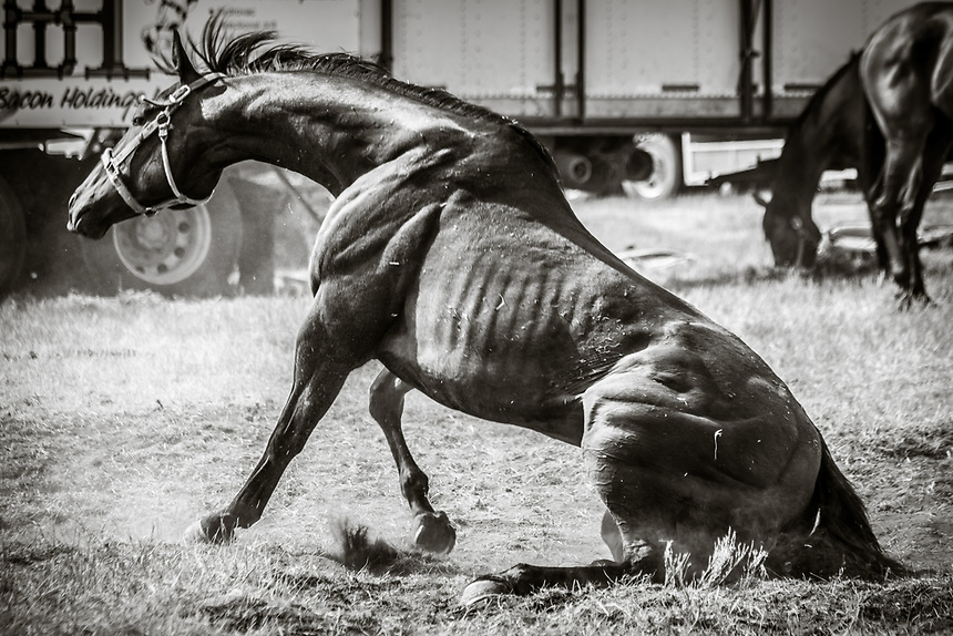 Chuckwagon Horse Stretching after taking a dust bath.