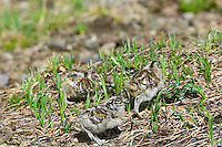 White-tailed Ptarmigan chicks (Lagopus leucurus) looking for food.  Mount Rainier National Park, WA.  Summer.