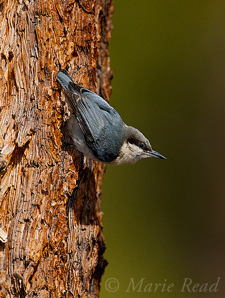 Pygmy Nuthatch (Sitta pygmaea), clinging head down on Jeffrey PIne trunk in typical nuthatch pose, Mono Lake Basin, California, USA