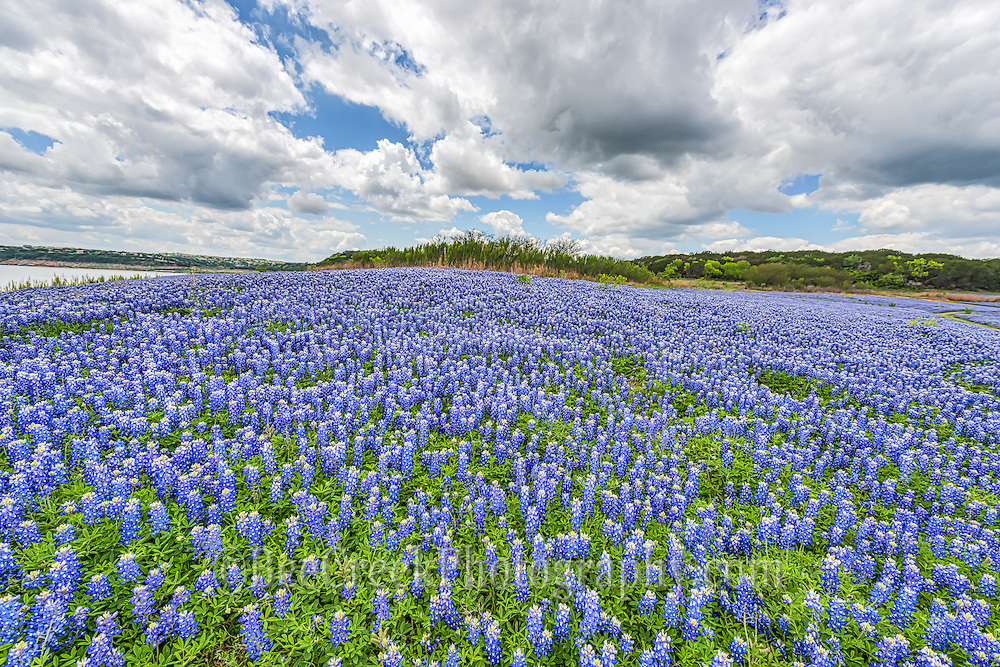 Field of bluebonnet by the lake
