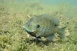 Bluegill (Lepomis macrohirus) sunfish