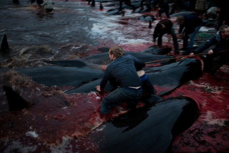 Young men wrestles with pilot whales as they drag them ashore.  Once the whale is on the beach it will be killed.