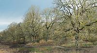Oregon Oak trees, Ridgefield National Wildlife Refuge, Washington