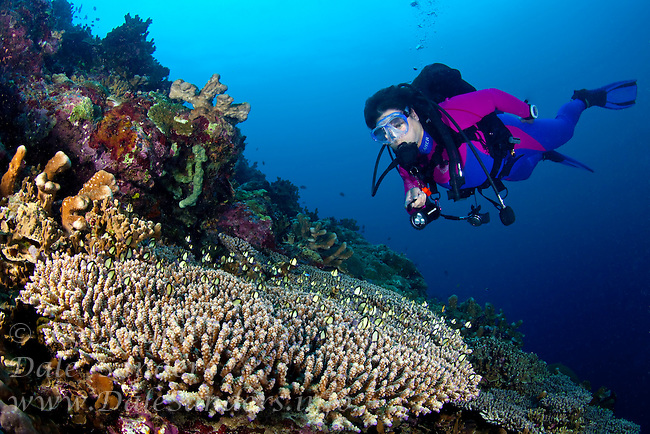 Female scuba diver observing small reef fish seeking shelter among the hard corals on a coral reef off New Britain Island, Papua New Guinea.