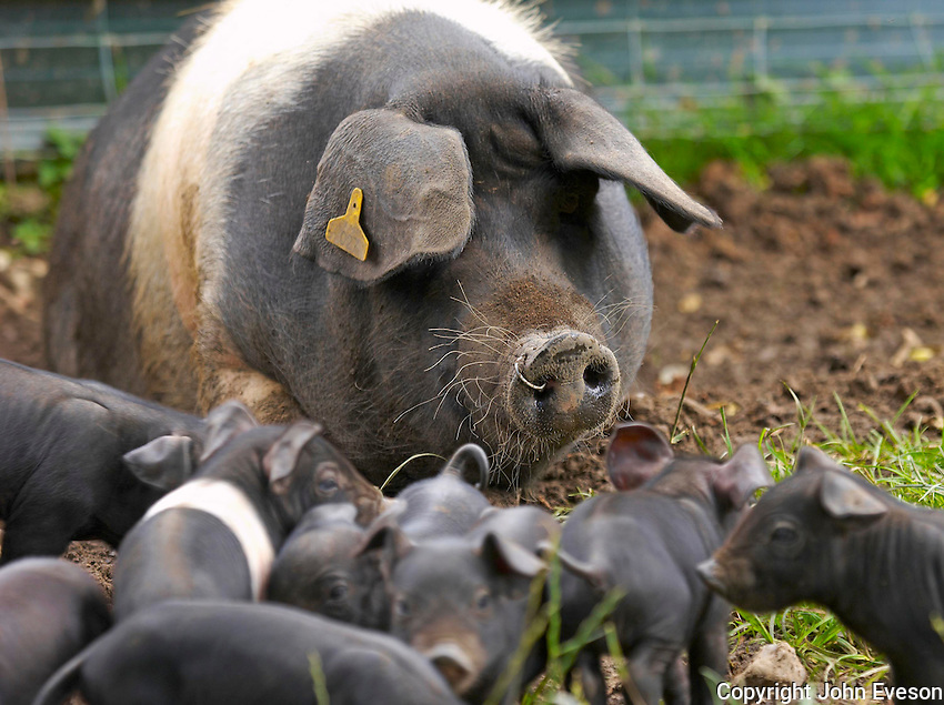 Saddleback sow with piglets, Wild Boar Park, Chipping, Lancashire.