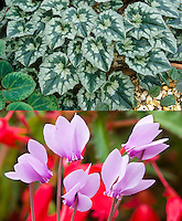 Cyclamen hederifolium 'Apollo' in two stages, variegated foliage and autumn fall flowers