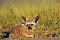 Bat-eared fox (Otocyon megalotis) Serengeti National Park, Tanzania.