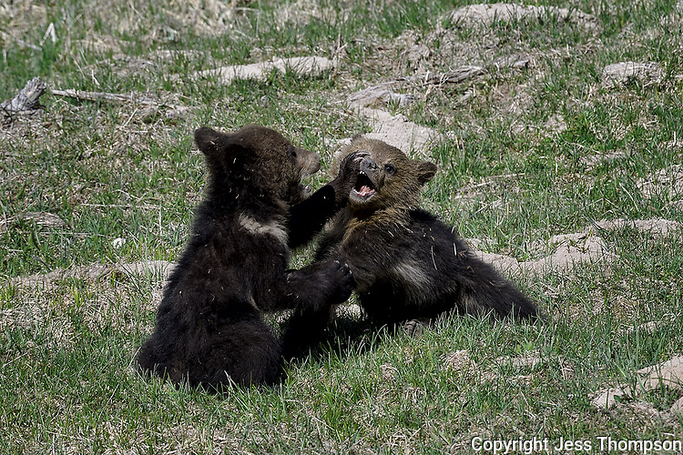 Grizzly Cubs playing, Yellowstone