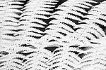 Black and white infrared photograph of fern leaves in a line