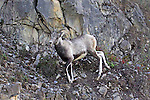 Stone sheep (Stone's sheep), Ovis dalli stonei, near SUMMIT PASS ON #97 (ALASKA HIGHWAY) BC, CANADA