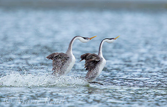"Western Grebe (Aechmorphus occidentalis),  pair during ""rushing"" courtship display, near Escondido, California, USA"
