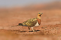 Pin-tailed Sandgrouse - Pterocles alchata