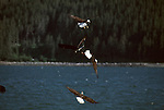 Group of bald eagles soaring over the water in Kachemak Bay on the Kenai Peninsula in Alaska.
