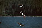 Group of bald eagles soaring over the water in Kachemak Bay on the Kenai Peninsula in Alaska.